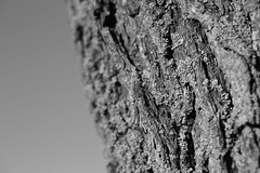 A willow and its trunk (Alexandre Dulaunoy) Tags: bw tree nb willow trunk arbre salix saule sooc