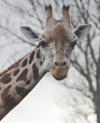 Day 17 (Squammy) Tags: zoo giraffe 365 chesterzoo