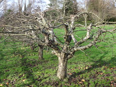 Jayson's tree (ART NAHPRO) Tags: winter england tree apple rural sussex countryside country january orchard pruned 2014 vision:mountain=0555 vision:plant=0892 vision:outdoor=0973