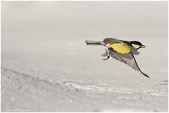 Cinciallegra (Parus major) (Michele Remonti) Tags: snow nature birds animals pentax natura uccelli neve f4 animali k5 smcpda300mmf40edifsdm da300