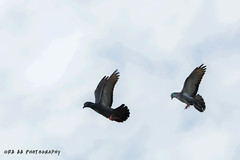 If u wanna fly,you got to give up the things that weighs you down.. (Amudha HariHaran) Tags: playing birds canon inflight pigeon flight birdwatching twobirds 70300 tuticorin amudha indianbirds 60d tamiraniketan