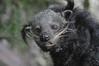 Binturong im Zoo de Pont-Scorff (Ulli J.) Tags: france zoo frankreich brittany bretagne morbihan bearcat binturong marderbär pontscorff paysdelorient