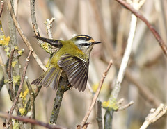 285 firecrest (steve.ray50) Tags: dungeness 2014