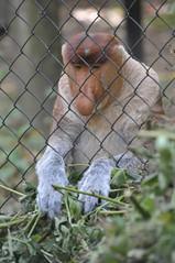 Nasenaffe im Apenheul (Ulli J.) Tags: netherlands zoo nederland paysbas apenheul veluwe apeldoorn niederlande gelderland proboscismonkey nasenaffe longnez nasique neusaap longnosedmonkey singeàtrompe