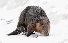Castor canadensis (dlv1) Tags: rodent nikon newhampshire beaver huge castorcanadensis penacook northamericanbeaver d7100 sigma150500mm
