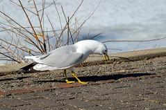 Seagull Complain Long Winter (AncasterZ) Tags: park winter canada ice burlington seagull sony lasalle lakeontario slt a57 sal75300