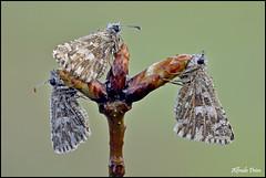 Pyrgus malvoides ...... tris (alfvet) Tags: macro nikon butterflies sigma natura 150 insetti farfalle parcodelticino veterinarifotografi d5100