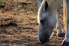Blanquita (Randall Cubillo) Tags: horse white blanco animals caballo farm country animales granja finca yegua