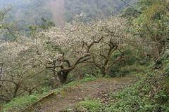 (superholly0926) Tags: taiwan   plumflower