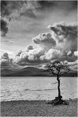 Milarrochy Bay's Famous Lone Tree (mtwhitelock) Tags: clouds grey scotland benlomond lochlomond lonetree milarrochybay millarochybay