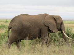 Amboseli: Elefant (orbitmug1) Tags: africa travel nature animal kenya wildlife may wildanimal amboseli 2014