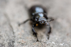 Beetle (Katherine Ridgley) Tags: detail macro bug insect beetle stagbeetle coleoptera insecta lucanidae polyphaga scarabaeoidea scarabaeiformia