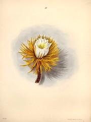 Anglų lietuvių žodynas. Žodis selenicereus grandiflorus reiškia <li>selenicereus grandiflorus</li> lietuviškai.