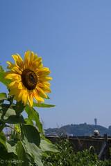 2015 Sunflower #1 (Yorkey&Rin) Tags: summer japan july bluesky olympus sunflower enoshima 夏 kanagawa rin fujisawa 江ノ島 2015 ひまわり 片瀬海岸 em5 7月 katasebeach seacandle lumixg20f17 pc236658