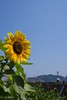 2015 Sunflower #1 (Yorkey&Rin) Tags: summer japan july bluesky olympus sunflower enoshima 夏 kanagawa rin fujisawa 江ノ島 2015 ひまわり 片瀬海岸 em5 7月 katasebeach seacandle lumixg20f17 pc236658