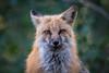 Foxy Eyes (Robin-Wilson) Tags: wild portrait forest fur eyes bravo colorado bokeh posing cropped redfox vulpesvulpes nikond800