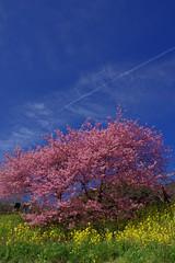 KS IMGP1050 (pentaxsasjapan) Tags: 日本 静岡県 南伊豆町 桜 菜の花 空 青 ピンク 黄色 japan shizukoka minamiizu landscape rural flower pink yellow blue sky