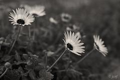 Nature. (jcof) Tags: blackandwhite blancoynegro fleur flores flower naturaleza nature sepia virado