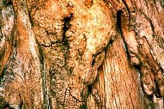 Northern Catalpa (Catalpa speciosa), Bark (In The Mind Of Nature (Plantae)) Tags: catalpaspeciosa northerncatalpa hardycatalpa westerncatalpa cigartree catawbatree plant tree deciduoustree minneapolisminnesota minnesota midwesternunitedstatesnativetreespecies midwesternunitedstatesnativeplantspecies northamericannativeplantspecies northamericannativetree inthemindofnature nature permaculture arboriculture catalpabark bark hardwood ornamentaltree