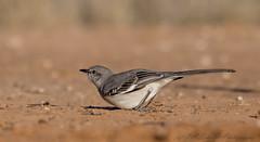 Northern Mockingbird (Ruthie Kansas) Tags: