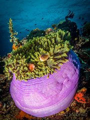 Large Purple Anemone and Anemonefish..Lembeh (davidmcbridephotography) Tags: photograph photography david mcbride media news image isles kingdom schiller holiday travel suites adventure spectacular awesome wild images wildlife marine life padi dive diver diving scenic vivid colorful underwater scuba nauticam zen dome inon z240 nikon d7100 toking 1017 anemone anemonefish blue water clear indonesia pink glow green scratched tokina harmony living orange purple sea scilly united nature