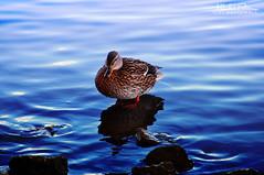 Duck on a Rock (Hi-Fi Fotos) Tags: duck bird water fowl nature river rock waterfowl female mallard pittsburgh pennsylvania wildlife outdoors nikon d5000 sigma 18250 hififotos hallewell animal
