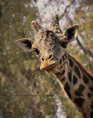 Curious Giraffe (Ronica23) Tags: beautiful animals zoo eyelashes sweet horns spots longneck giraffe graceful