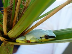 Tree frog (heather_mcculloch) Tags: madagascar maroantsetra