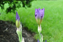 Two irises (Lorianne DiSabato) Tags: iris flower ma spring massachusetts bud newton waban