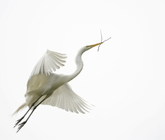(huntington girl) Tags: white bird flying nest great gathering egret