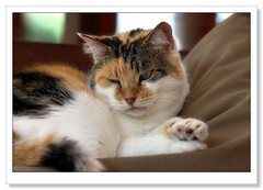 Candy-7313 (Barbara J H) Tags: pet cat candy australia qld calicocat domesticcat imbil barbarajh maryvalley yabbasprings