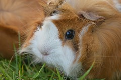 Guinea pig close up (mikeplonk) Tags: brown white black macro cute eye face grass closeup guineapig nikon d5100