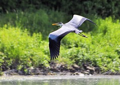 heron-p1a (gabriel_flr) Tags: bird heron birds fly inflight blueheron vgel vogel waterbirds wasservgel niedersachsen lowersaxony reiher graureiher batlan innerste starc flyflying nikond5000 saxonieinferieure sassoniabassa gabrielflr gabrielflorea
