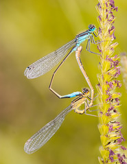 Dragonfly mate (Kutub Uddin...) Tags:
