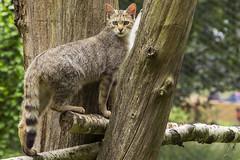 Anholter meet 8 (Patrick Mortko) Tags: pentax k5 felissilvestris wildekat wildparkanholterschweiz sigma150500f5f63apodgos