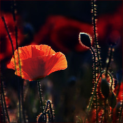 RED !!!  for Anna Maria ❤ (fifich@t - off -:() Tags: birthday red summer paris france flower macro rot closeup backlight square rouge petals rojo îledefrance bokeh july explore transparency wishes poppies nikkor chiaroscuro rosso lightshadow contrejour controluce transparence coquelicot carré gettyimage explored ©allrightsreserved lr4 niksoftware nikkor70300vr nikond300 bestcapturesaoi magicunicornverybest magicunicorntheverybest magicunicornmasterpieces fifichat1 ©frs fificht ©frs