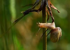 nearly leaving the house (pete ware) Tags: macro stem eyes snail veins organic arteries mollusk nikond7000 peteware tokinaf28100mmatxprod ruckshack