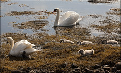 Swans & Signets Castlebay Barra 5443 (The Terry Eve Archive) Tags: seaweed shoreline swans shore barra hebrides signets outerhebrides castlebay qute