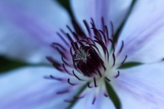 Clematis (Mary Gray1) Tags: flower macro evening purple clematis