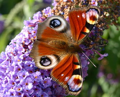 Butterfly Beauty - 5 (Tony Worrall) Tags: uk flowers wild summer england copyright color wil nature beautiful beauty gardens butterfly insect outdoors fly nice wings colours purple natural northwest bright image buddleia country north peacock bugs lancashire eat papillon land bloom preston colourful pollen butterflybush countyside lancs peacockbutterfly buddleja beautifulbugs ©2013tonyworrall
