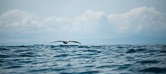 [Explore] Costa Rica - Pelican (Cyrielle Beaubois) Tags: ocean blue sea bird america flying costarica central pelican explore bahia ballena puravida uvita 2013 canoneos5dmarkii cyriellebeaubois