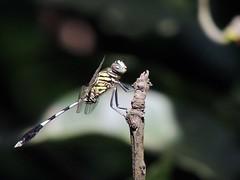 Dragonfly  (Bengali: jal faring) (nbu2012) Tags: india west campus nikon university dragonfly north bengal darjeeling odonata siliguri nbu nbu2012 nbu2013