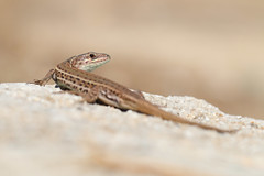 Balcan Wall Lizard (Podarcis tauricus) (Wildlife Photography by Matt Latham) Tags: macro nature wall canon matt reptile wildlife lizard greece kefalonia latham podarcis balcan tauricus