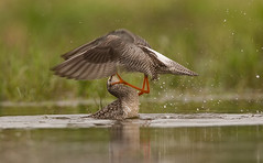 """sparring"" Spotted Redshanks"