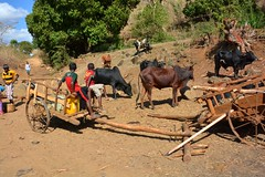 """""""Village Life"""" - Kids keep a close eye on the Carts and Zebe Herd, near Ankerana, north-west Madagascar. (One more shot Rog) Tags: poverty life kids living cattle guard culture waving carts madagascar herds zebu malagasy ambermountain ankerana vollagelife"""