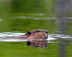 Maine-beaver-10 (egdc211) Tags: maine beaver mainewildlife simplysuperb