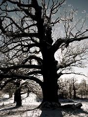 The Oak. (iEagle2) Tags: winter snow backlight oak olympuspen sn ep2 vstratunhem olympusep2