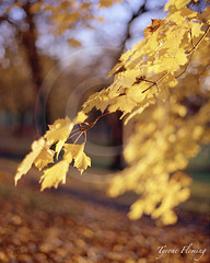 AUTUMN SUNLIT LEAVES (Tyrone Fleming) Tags: autumn sunlight leaves leaf autumncolors wakefield shotonfilm contax645 filmphotography portra400 colorfilm kodakportra400 80mmlens leavesinautumn gwtphotography newkodakportra400 tyronefleming carlzeissplanar80mmlens