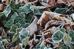 Frosty Mornings (Savannah Moorghen-Young) Tags: wood morning autumn trees winter light england orange sun white snow black cold colour detail tree texture ice nature grass leaves contrast season frozen wooden leaf stem focus pretty frost pattern colours berries sad natural space bare empty frosty chips line sparkle freeze chip effect chipping glisten affect froze savvyseye