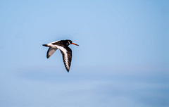 oystercatcher in flight (pewatts) Tags: bird bluesky oystercatcher birdinflight longniddry